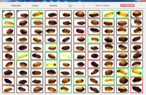 Рис. 2. Выбор мучнистых и стекловидных зерен